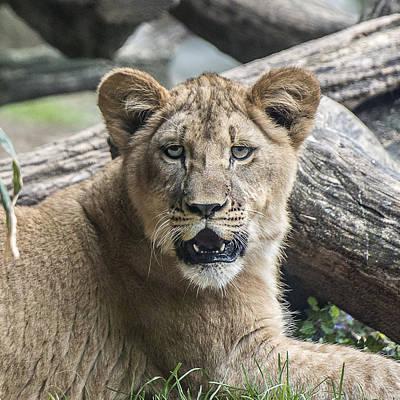Photograph - Lion Cub Headshot Portrait by William Bitman