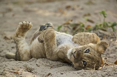 Lion Cub Art Print by Johan Elzenga