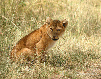 Photograph - Lion Cub Looking For Mom by Joseph G Holland