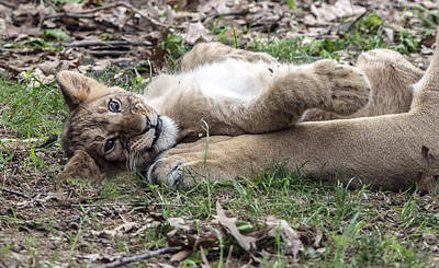 Photograph - Lion Cub Lying On His Mother's Foreleg by William Bitman