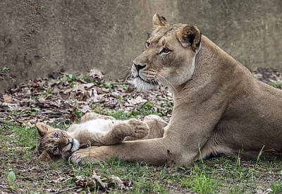 Photograph - Lion Cub Lying On Mom's Foreleg by William Bitman