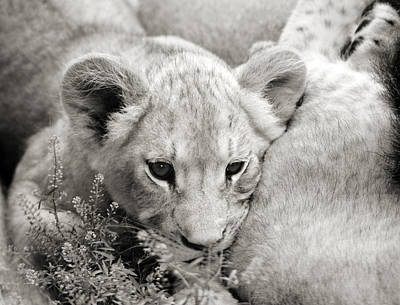 Photograph - Lion Cub by Marilyn Hunt