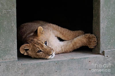 Photograph - Lion Cub by Nina Prommer