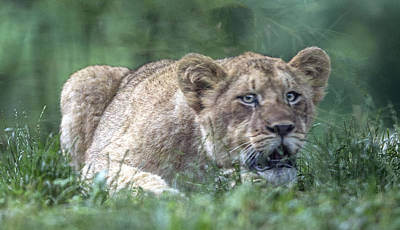 Photograph - Lion Cub Portrait Hunched In The Grass by William Bitman