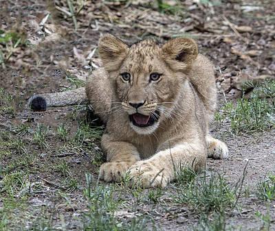 Photograph - Lion Cub Portrait by William Bitman