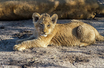 Photograph - Lion Cub Resting At Sunset by Mark Coran