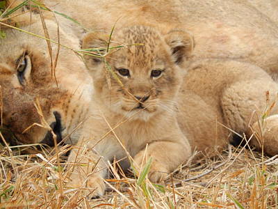 Photograph - Lion Cub With Mom Watching by Patrick Murphy