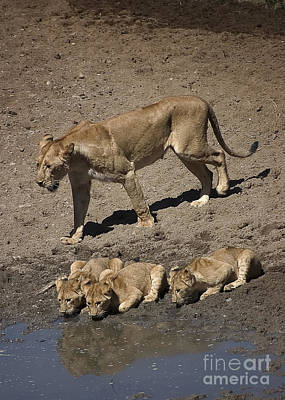 Lion Cubs And Mom Get A Drink Art Print by Darcy Michaelchuk