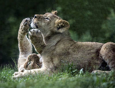 Photograph - Lion Cubs At Play by William Bitman