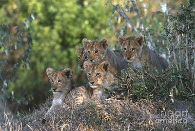 Photograph - Lion Cubs Awaiting Mom by Sandra Bronstein