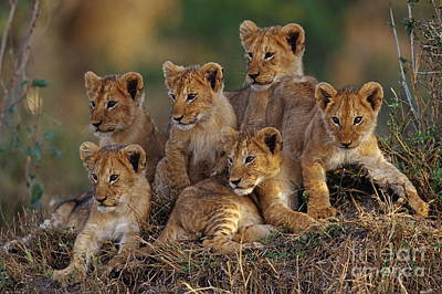Photograph - Lion Cubs by Joe McDonald and Photo Researchers