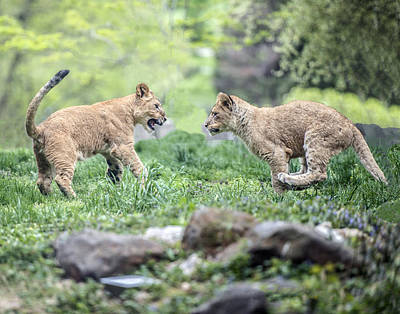 Photograph - Lion Cubs Running Toward Each Other by William Bitman