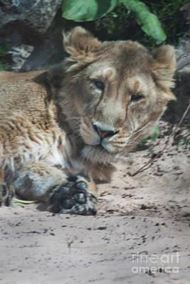 Photograph - Lion by Doc Braham