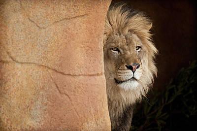 Animals Photos - Lion Emerging    captive by Steve Gadomski