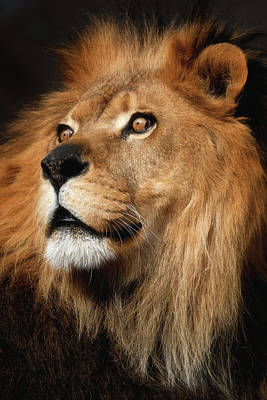Photograph - Lion by Emmanuel Panagiotakis
