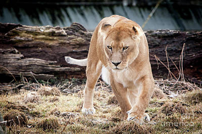 Photograph - Lion Eyes by John Wadleigh