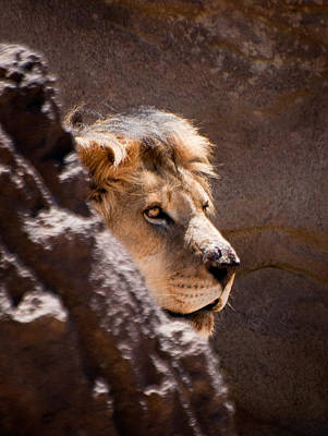 Photograph - Lion Face by Kevin Munro