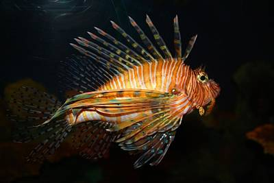Photograph - Lion Fish 1 by Kathryn Meyer