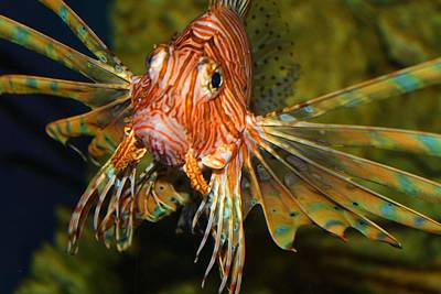 Photograph - Lion Fish 2 by Kathryn Meyer
