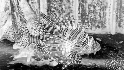 Photograph - Lion Fish B W Negative by Rob Hans