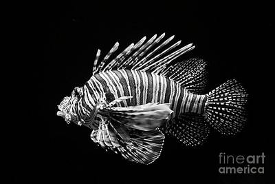Photograph - Lion Fish by Craig Lovell
