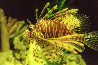 Photograph - Lion Fish Cruising by Douglas Barnett