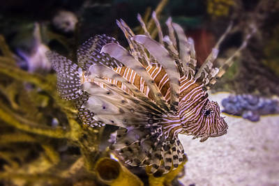 Animals Photos - Lion Fish by Martin Newman