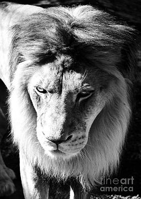 Photograph - Lion Head Face Eyes Mane Front View Black And White by Shawn O'Brien