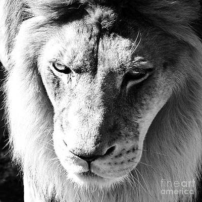 Photograph - Lion Head Face Eyes Mane Front View Macro Close Up Black And White by Shawn O'Brien
