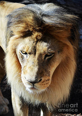 Photograph - Lion Head Face Eyes Mane Front View by Shawn O'Brien