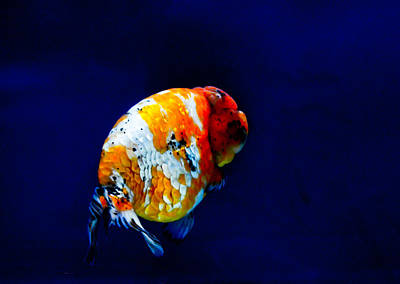 Photograph - Lion Head Goldfish 2 by Chua  ChinLeng