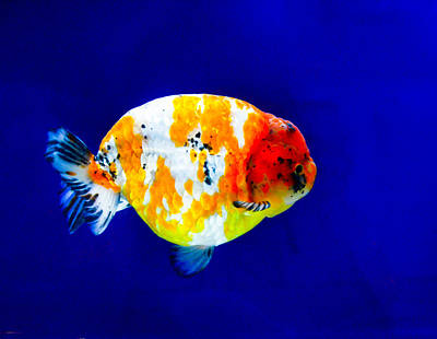 Photograph - Lion Head Goldfish 3 by Chua  ChinLeng