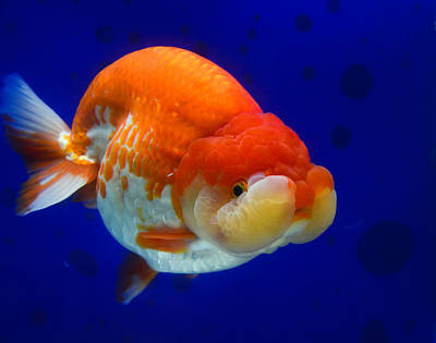 Photograph - Lion Head Goldfish 4 by Chua  ChinLeng