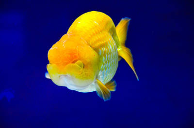 Photograph - Lion Head Goldfish 5 by Chua  ChinLeng