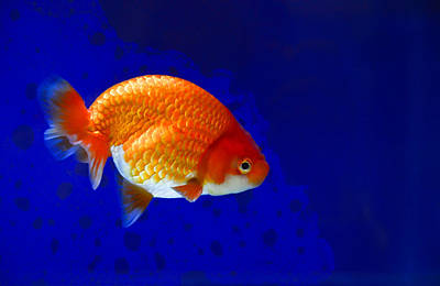 Photograph - Lion Head Goldfish 6 by Chua  ChinLeng