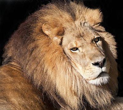Lion Highlights Art Print by Kenneth Albin