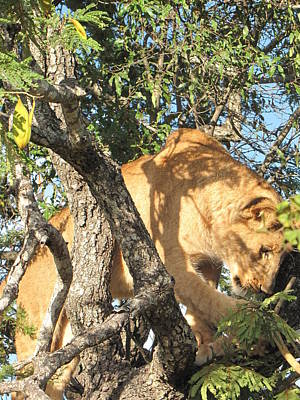 Zimbabwe Photograph - Lion In A Tree by Charles Ray