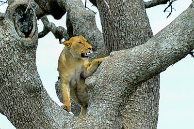 Photograph - Lion In A Tree by Marilyn Burton