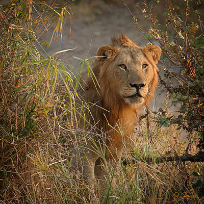 Photograph - Lion In The Weeds by Joe Bonita