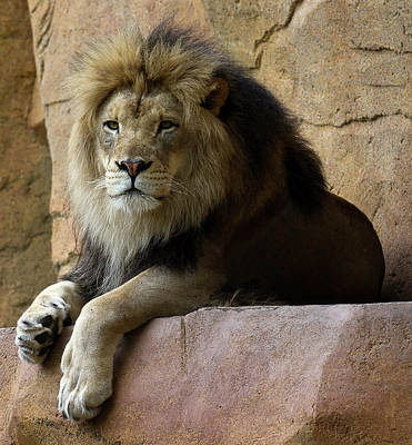 Print Cat Photograph - Lion by D Plinth