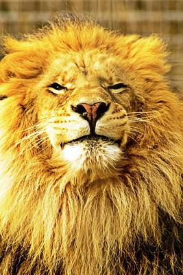 Photograph - Lion King 1 by Ayasha Loya