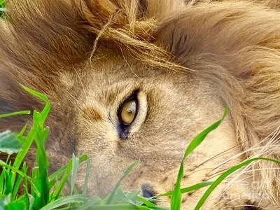 Photograph - Lion King by Deniece Platt