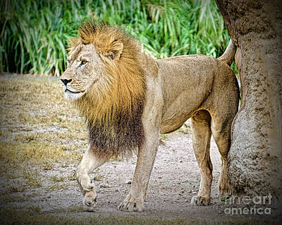 Photograph - Lion King by Judy Kay