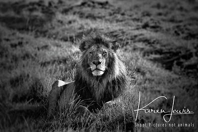 Art Print featuring the photograph Lion King by Karen Lewis