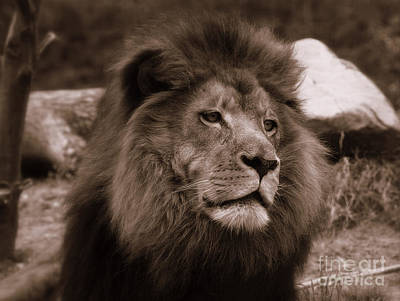 Photograph - Lion King by Lisa L Silva