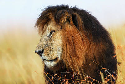 Photograph - Lion King Notch In Masai Mara by Maggy Meyer