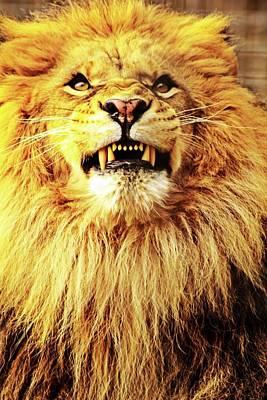 Photograph - Lion King Smiling by Ayasha Loya