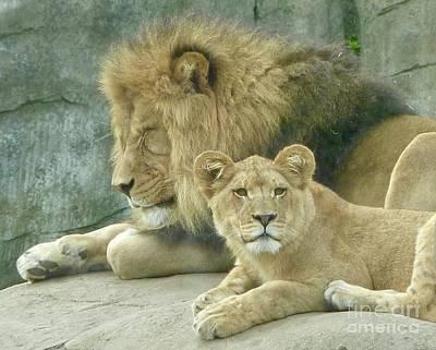 Photograph - Lion Lair by Susan Garren