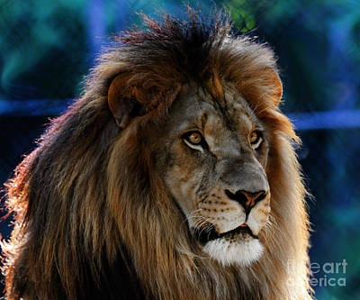 Photograph - King Of The Lions by Roger Becker