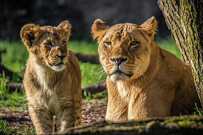 Photograph - Lion Mother Watching Over Cub by Ron Pate